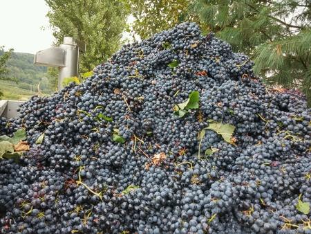 industrieel: Grape wine (Barbera). Piemonte. Italy.