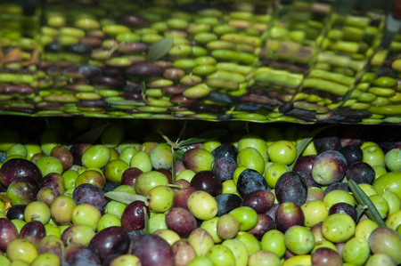 oil mill: Olives in the oil mill before pressing Stock Photo