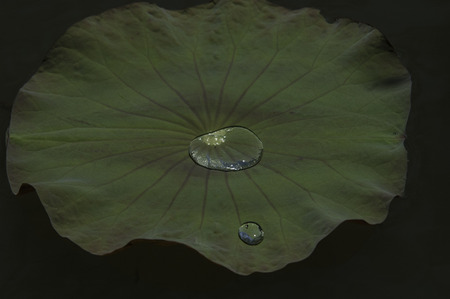 Lotus leaf and drop in a lake Stock Photo