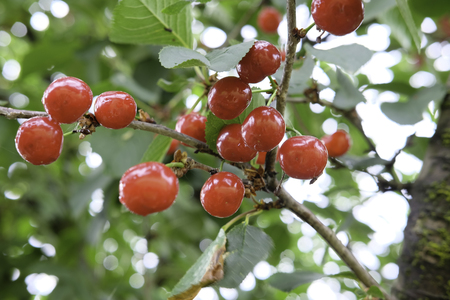 Suor cherries tree