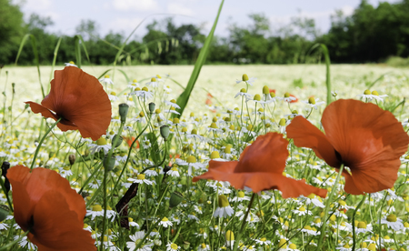 Chamomile field and poppies Stock Photo