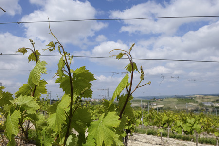 Vineyards for growing barbera grapes
