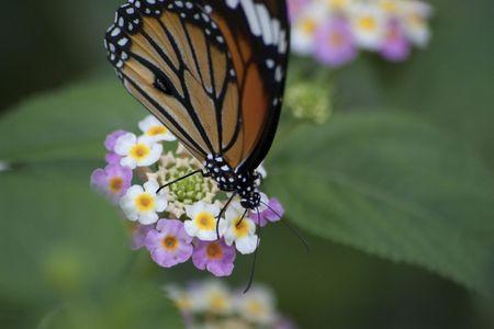 Butterfly in the botanic garden near Tokyo (Japan) photo