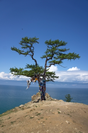 Baykal, Olkhon Island, Pine photo