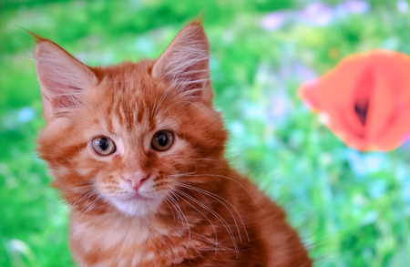 Red Main Coon kitten in a domestic setting