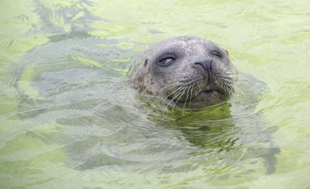 Blind seal in an aquarium in the Netherlands