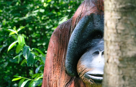 Wooden Orang Urang monkey portrait in a sunny day in amsterdam zoo netherlands