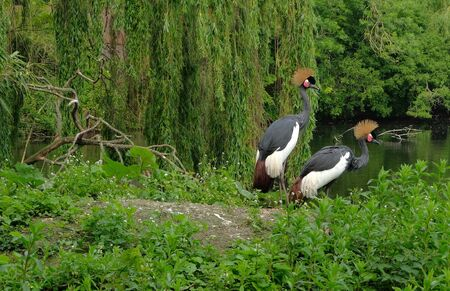 Two black crowned cranes on meadow in wood avifauna netherlands Фото со стока