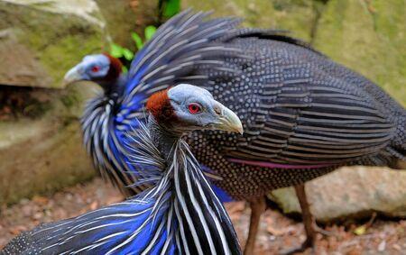 Wild Eastern turkey head shot close up avifauna netherlands