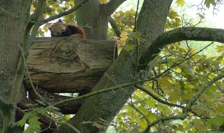 Red Panda descending a tree branch with blurred green foliage in the background avifauna, netherlands Фото со стока
