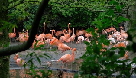 Group of red flamingos at the water, with green foliage in the background avifauna, netherlands