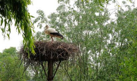 Heron with Young in nest in a forest in avifauna netherlands