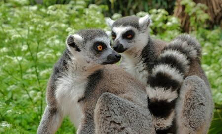 Ring tailed lemurs in the National Park in the island of Madagascar. Two young lemurs curiously came to see what is happening. avifauna netherlands Stock Photo