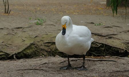 The white swan is standing on the ground in avifauna netherlands