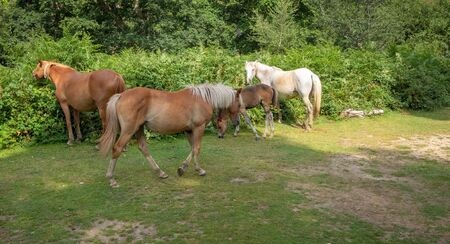 horses grazing in the mist at a campingsite in newforest great brittain