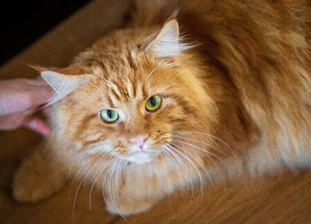 Beautiful big fluffy red Maine Coon in the hands of the owner, love and care for pets amsterdam the netherlands