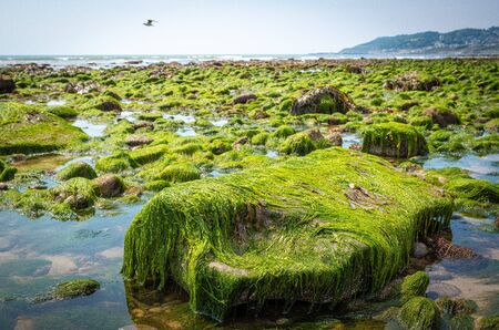 rocks and moss on the seabed at low tide on the jurrassic coast in south england, , charmouth beach, united kingdom
