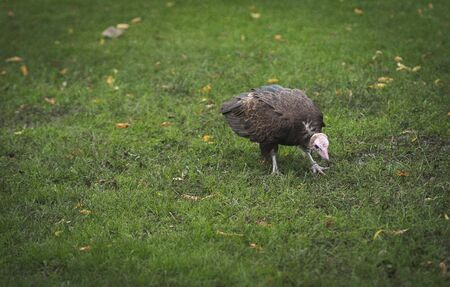 a vulture searches for food in the grass in the netherlands