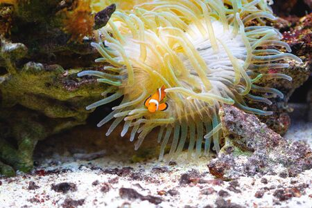 Clown Anemonefish, Amphiprion percula, swimming among the tentacles of its anemone home in blijdorp rotterdam netherlands