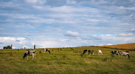 cows grazing near Prehistoric Standing Stones at Avebury in Wiltshire England united kingdom