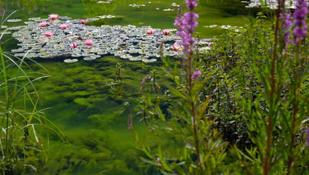 lillys in a pond with green water and flowers in austria