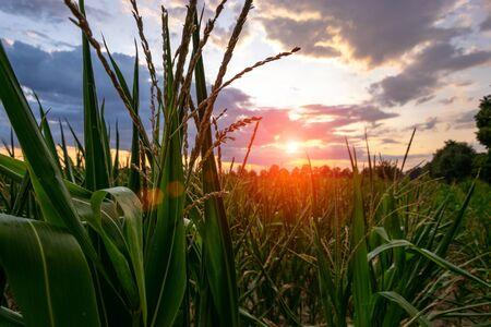 Maizal en el fondo hermoso cielo. Concepto de agricultura y finca de maíz. Foto de archivo