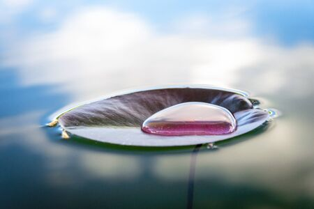 Lotus leaf, water drop or dew on fresh green plant in garden pond. Abstract reflection in lake, macro nature background. Flat lay, copy space. Stock Photo