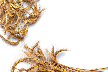 Barley grain. Whole, barley, harvest wheat sprouts. Wheat grain ear or rye spike plant isolated on white background, for cereal bread flour. Top view, cutout