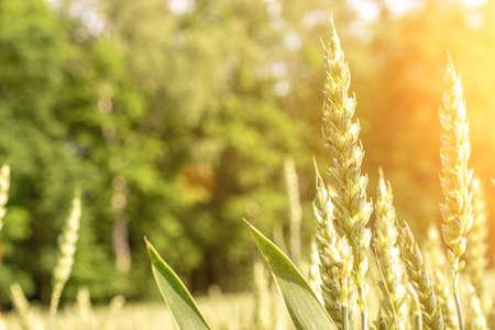 Wheat field sun landscape. Golden crop cereal bread background. Rye plant green grain in agriculture farm harvest