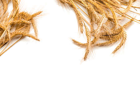 Spike view. Whole, barley, harvest wheat sprouts. Wheat grain ear or rye spike plant isolated on white background, for cereal bread flour. Rich harvest Concept.