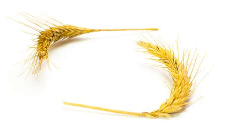 Wheat isolated. Whole, barley, harvest wheat sprouts. Wheat grain ear or rye spike plant isolated on white background, for cereal bread flour. Top view.