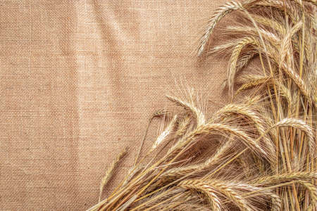 Wheat grain. Whole, barley, harvest wheat sprouts. Wheat grain ear or rye spike plant on linen texture or brown natural organic background, for cereal bread flour. Flat Lay, copy space