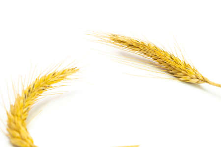 Rye grass. Whole, barley, harvest wheat sprouts. Wheat grain ear or rye spike plant isolated on white background, for cereal bread flour. Element of design