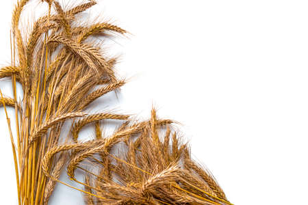 Spike view. Whole, barley, harvest wheat sprouts. Wheat grain ear or rye spike plant isolated on white background, for cereal bread flour. Rich harvest concept