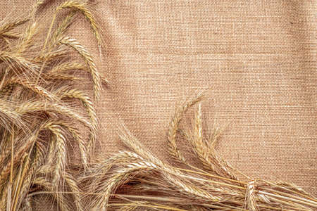Rye grass. Whole, barley, harvest wheat sprouts. Wheat grain ear or rye spike plant on linen texture or brown natural organic background, for cereal bread flour. Element of design