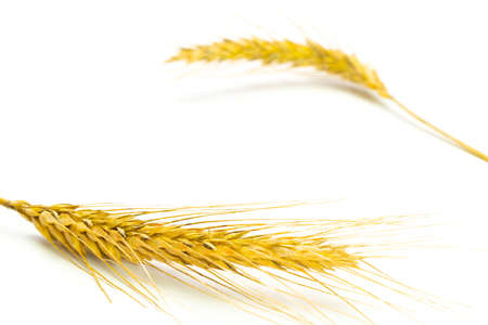 Grain field. Whole, barley, harvest wheat sprouts. Wheat grain ear or rye spike plant isolated on white background, for cereal bread flour. Flat Lay, copy space
