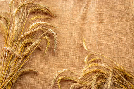 Grains isolated. Whole, barley, harvest wheat sprouts. Wheat grain ear or rye spike plant on linen texture or brown natural organic background, for cereal bread flour. Top view, cutout.
