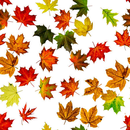 Maple leaf seamless pattern. Colorful maple foliage. Season leaves fall background. Autumn yellow red, orange leaf isolated on white