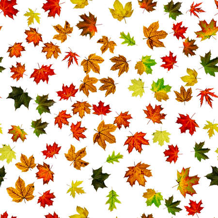 Seamless floral pattern. Autumn yellow red, orange leaf isolated on white. Colorful maple foliage. Season leaves fall background