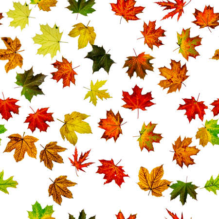 Seamless wallpaper. Autumn yellow red, orange leaf isolated on white. Colorful maple foliage. Season leaves fall background Stock fotó