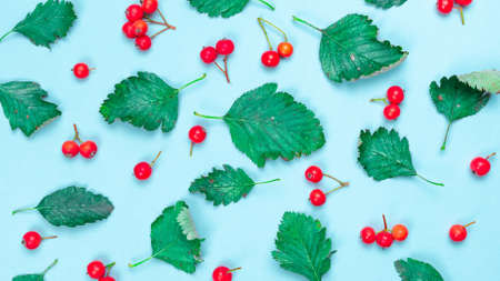 Maple leaf autumn. Green leafs, dry leaves, red fruits Rowans isolated on pastel blue background - Nature pattern. Flat lay, top view, square