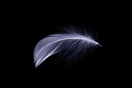 Feather texture. Nature abstract bird feather closeup isolated on black background in macro photography. Glamorous sophisticated airy artistic image on soft blurred background