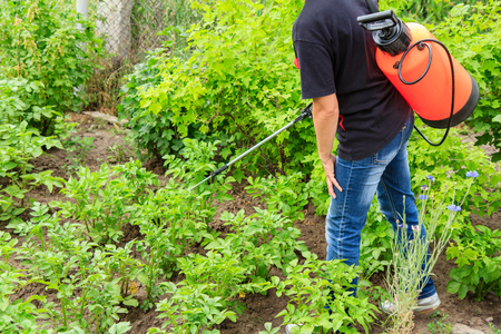 fungal disease: Farmer is protecting potatoes plants from fungal disease or vermin with pressure sprayer in the garden Stock Photo