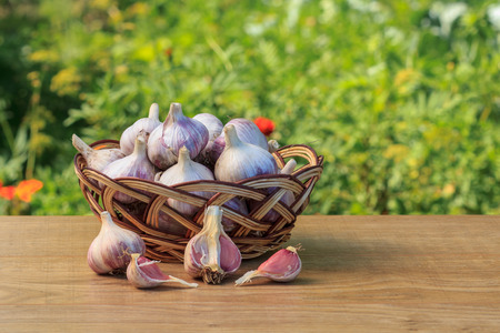 poignant: Ripe garlic in a wicker basket on wooden board with natural green background. Just harvested vegetables.