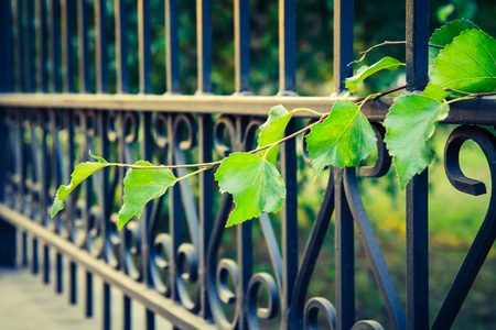 curve: Side view of black metal forged fence and branch of plant with green leaves. Shallow depth of field