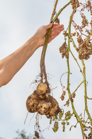 Female hand holds just harvested potato plant with russet ripe tubers on dried stem