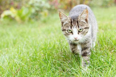 Gray and white tabby young kitten walking on green grass outdoor with natural background. Shallow depth of field portrait
