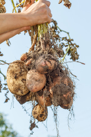 Female hands holds just harvested potato plant with russet ripe tubers on dried stem
