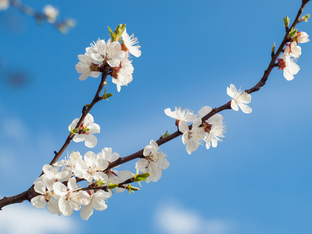Branch of spring flowering apple tree with blue sky and clouds on background