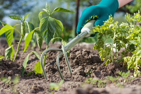 Small hand garden rake in hand dressed in a green glove is loosening soil around the pepper seedling. Stock Photo